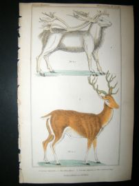 Cuvier C1835 Antique Hand Col Print. Rein Deer, Common Stag, 54